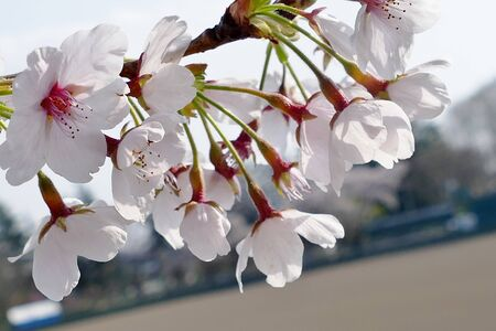 Cherry Blossoms in Mizusawa Park, Mizusawa, Iwate Prefecture