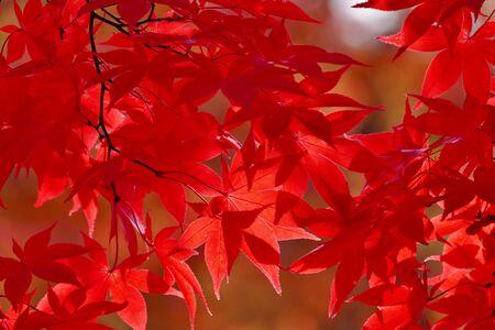 Nakano maple mountain autumn leaves, Kuroishi Aomori Prefecture Japan