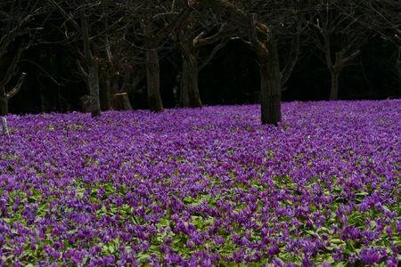 """The name of the flower is katakuri"""" Senboku City Akita Prefecture Japan"""