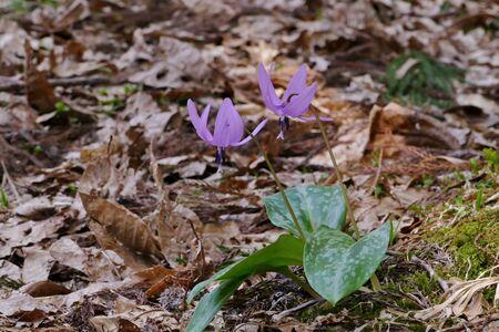 The name of the flower is katakuri