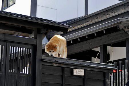 ?Buke Maru(Akita dog), Senboku City, Akita Prefecture Japan 報道画像