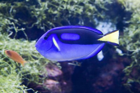 hepatus: Blue surgeon fish, also called Paracanthurus Hepatus.
