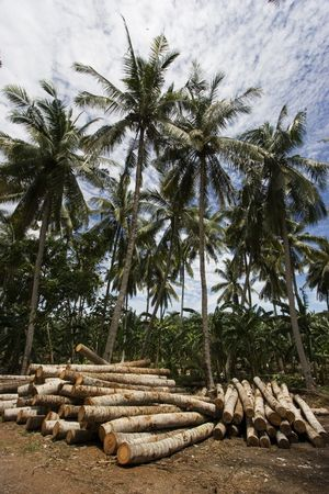 felled: A bunch of felled coconut trees laying on the floor. Stock Photo