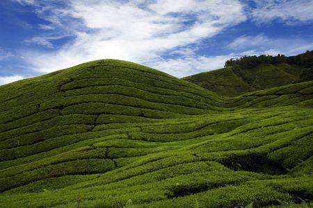 cropland: Tea plantation in Cameraon Highland at Malaysia.