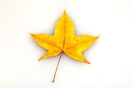 A single maple leaf in white background. photo
