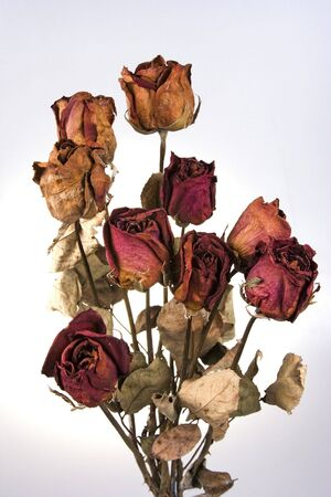 dehydrate: Some withered red rose in white background.