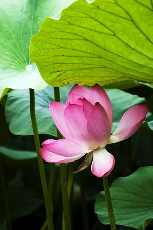Blooming pink water lily in the pond. Stock Photo