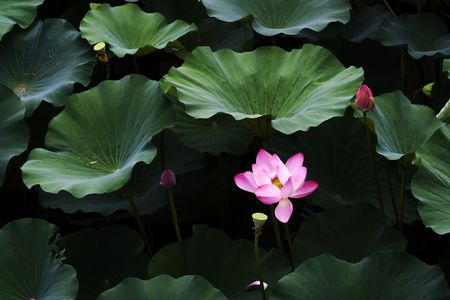 Blooming fresh water lily in the pond. photo