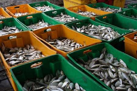 Fresh fishes in the box at a factory.