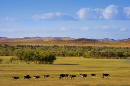 An autumn grassland view at Inner Mongolia with cows in row. Stock Photo - 2241231