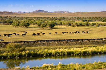 An autumn grassland view at Inner Mongolia with cows in row.