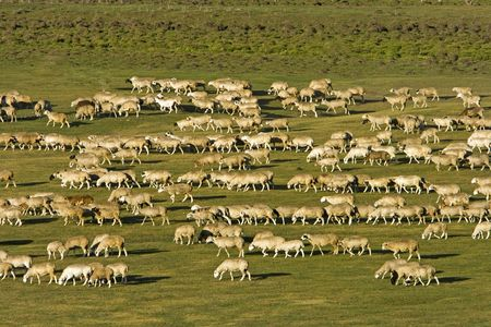 A group of sheep passing through a grassland. Stock Photo - 2241276