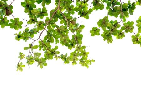 young leaf: green leaf background