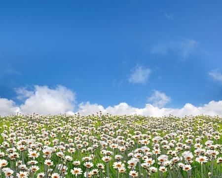 non urban: Daisy field