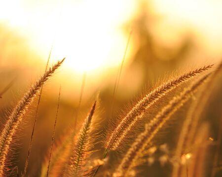 grass verge: Silhouette fiore all'alba e nebbia mattutina Archivio Fotografico