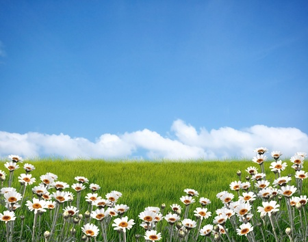 yellow daisy: Daisy field