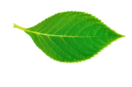 single object: Green leaf