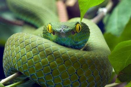 poison snakes: Green snake Stock Photo