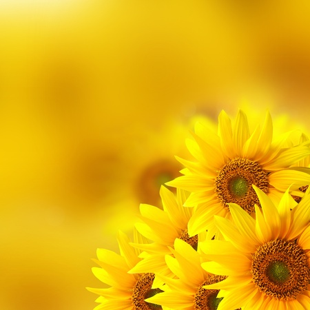 sunflower seeds: Sunflower background