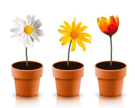 red gerber daisy: Three flower in pot on white backgorund
