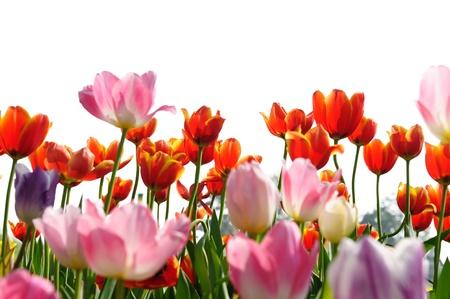 may: Closeup of Tulip Stock Photo