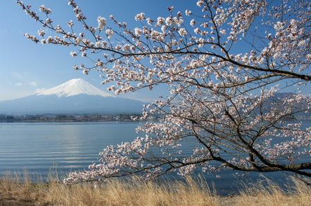 kawaguchi: Reflection of Mt Fuji and Cherry Blossom on lake Kawaguchiko