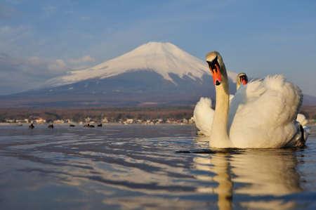 mt fuji: White Swan and Mt Fuji, Yamanaka lake, Yamanashi, Japan