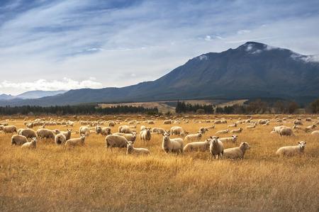 밀포드 사운드, 뉴질랜드 길에 양 스톡 콘텐츠