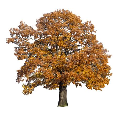 esdoorn boom in de herfst op wit wordt geïsoleerd