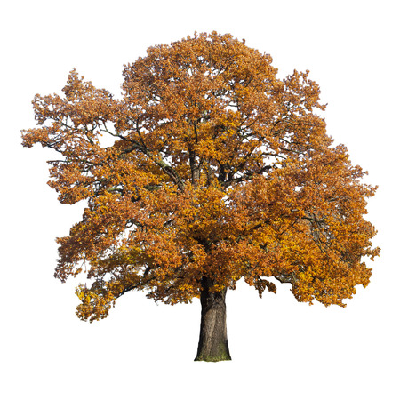 autumn trees: maple tree in the fall isolated on white