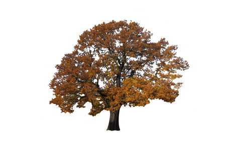Autumn Tree isolate on white with clipping path photo