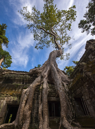 siem reap: The ancient ruins and tree roots, Angkor Wat in Cambodia
