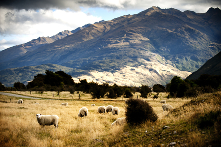 christchurch: Sheep in New Zealand.
