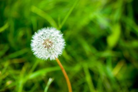 downy: Small downy dandelion on to meadow Stock Photo