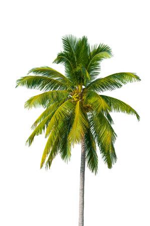 noix de coco: cocotier