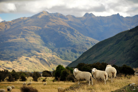 Sheep in New Zealand.
