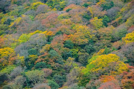 maple tree: maple tree in Arashiyama, Japan