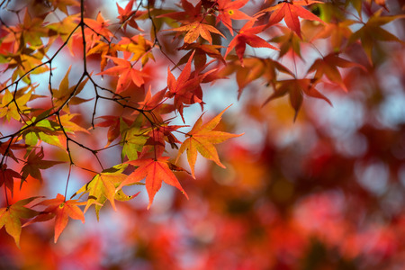 Maple tree in autumn, Japan Stock Photo