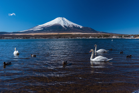 white swan flap wings in yamanaka lake Stock Photo
