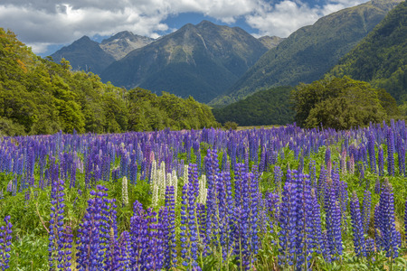 Russle Lupines at milfordsound, New zealand Stock Photo