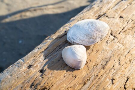 Shells on the driftwood 写真素材 - 129337804