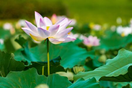 Fleur de lotus prise de côté