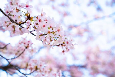 Cherry florals bloom beautifully