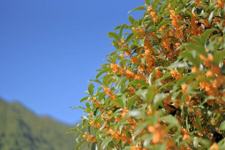 Blue sky and fragrant olive Stock Photo