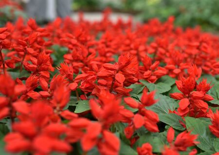 A lot of red flowers