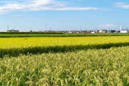 Japanese rice field / rice cultivation