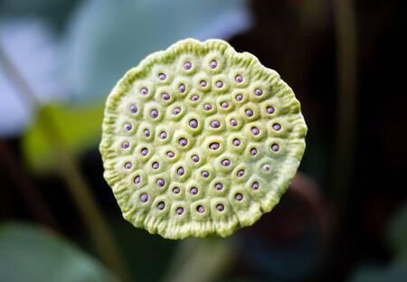 Lotus flowers before flowering  Lotus flower Receptacle
