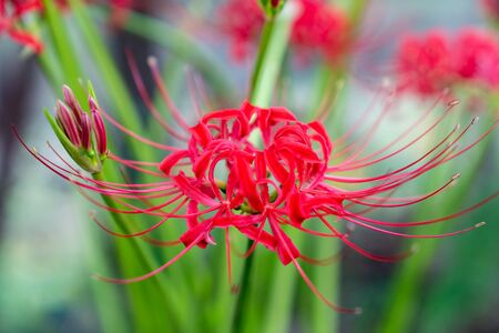 Red cluster amaryllis  red spider lily