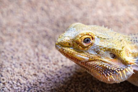 Picture of a cute bearded dragon Stockfoto