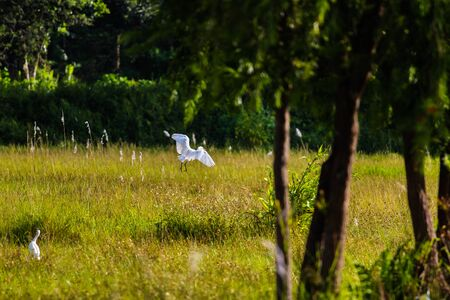 White heron captured on a small grassland during morning. White heron flying and searching its food.